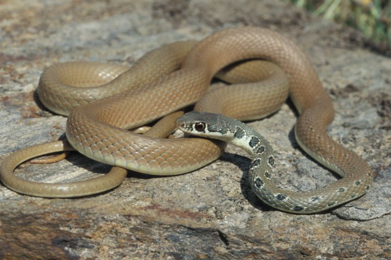Dahl's Whip Snake or Arrow Snake (Coluber Najadum)