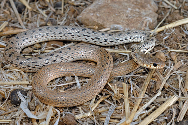 Cyprus Snakes Blunt Nosed Viper Images And Information