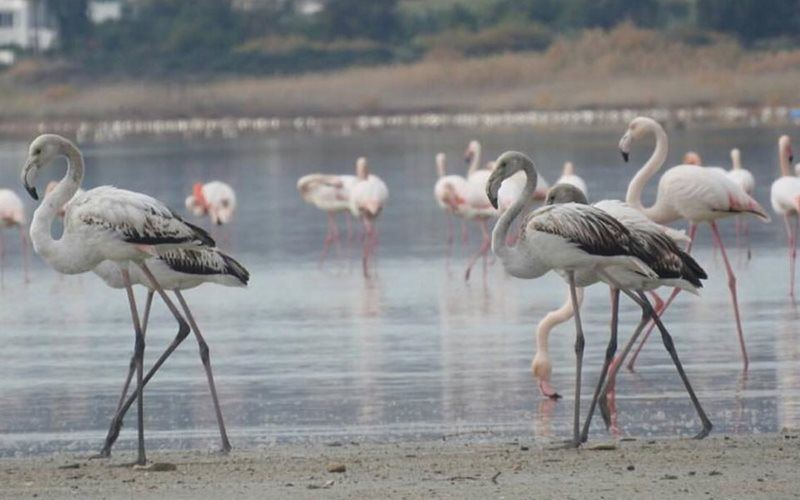 Flamingos at Larnaca Salt Lake