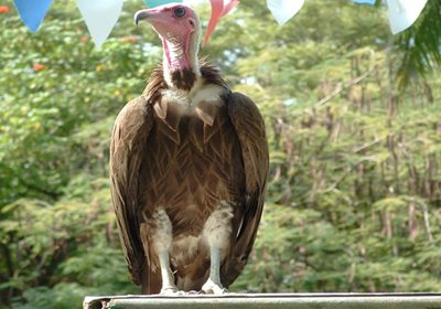 Vulture in the Gambia