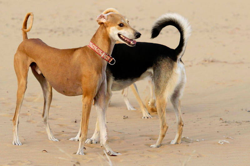 Visit The Arabian Saluki Centre