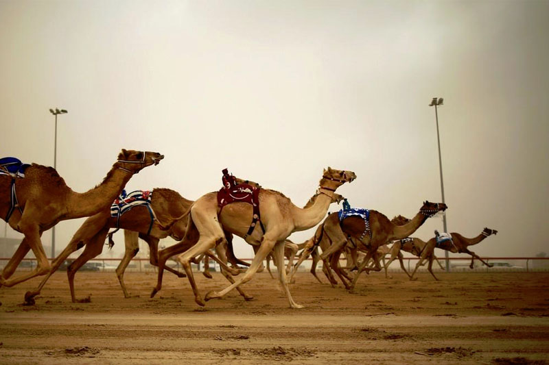Watch Camel Racing At Al Wathba Camel Track