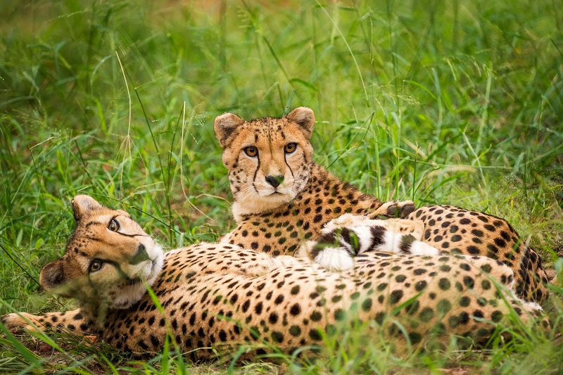 De Wildt Cheetah Breeding Station